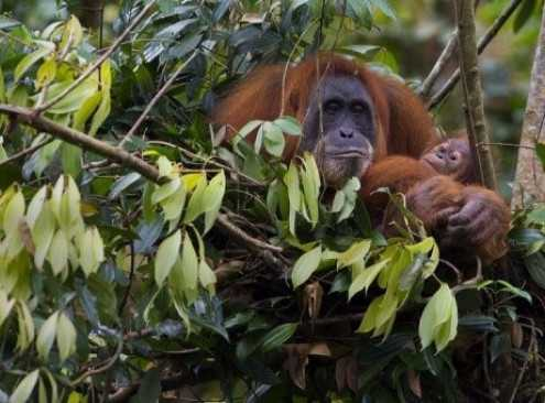 Orangutans are the closest living relative to mankind, yet we hardly understand the life of this endangered animal. Join @solomilne on May 22nd at #pint19 and hear about how modern tech is used to map out orangutan habitat in Borneo. For tickets, see https://t.co/n0DDUd1nz1 https://t.co/vwocS68OKZ