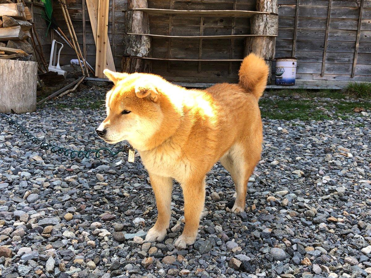 オンライン英会話の相手をしてくれている日本在住の香港人が今、泊まりがけで登山の真っ最中。私がよく日本犬の話をするため、最近は彼女も日本犬好きになった。宿泊中の山小屋には柴犬が三頭いるという。写真を送ってくれた。山の犬らしい素朴な感じがいい。