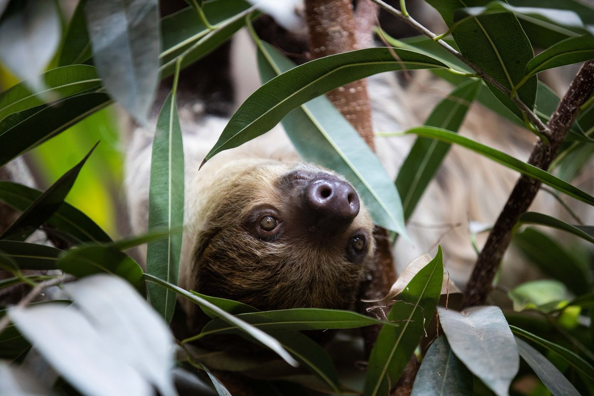 **News!** Welcoming Matheo the Sloth  - just announced as the latest arrival to our Tropical House - who recently arrived from Wilhelma Zoo Stuttgart. https://t.co/ctBNa8RXgp for more on Matheo! https://t.co/W6VDb74sMq
