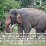 Image for the Tweet beginning: Happy #EleFunFactFriday! Musth is communicated