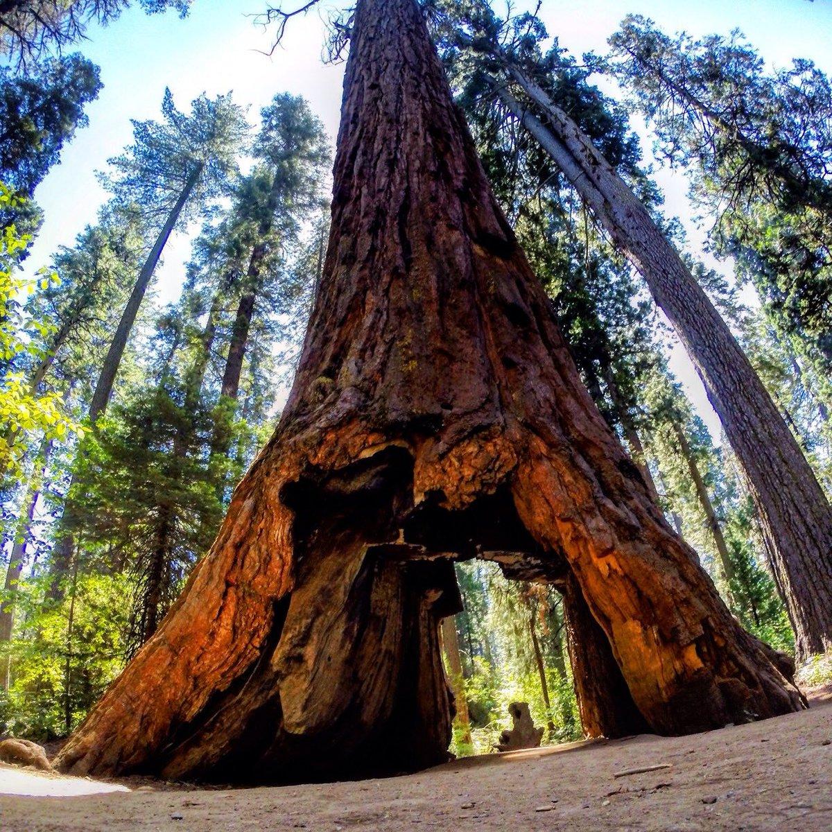 этого гигантские деревья фото втором необходимо