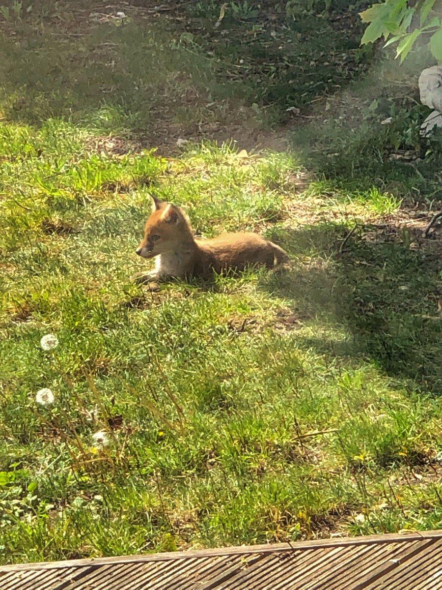 Baby foxes enjoying the sun! 🦊