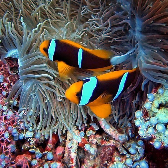 A couple of Clarkii Clownfish enjoying their anemone... . . . . . #clownfish #anemonefish #anemone  #micronesia #palau #tropical #tropicalwater #tropicalfish #islandlife #protectouroceans #reef #tropicalcoralreef #coralreef #reeflife #creaturesofthedeep … http://bit.ly/2DO8k0mpic.twitter.com/UhoQdaOGoa
