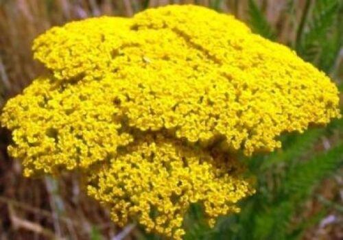 Zenith Zoysia Grass Seed 100/% Pure 1//2 Lb. Plants - 500 Sq.ft.