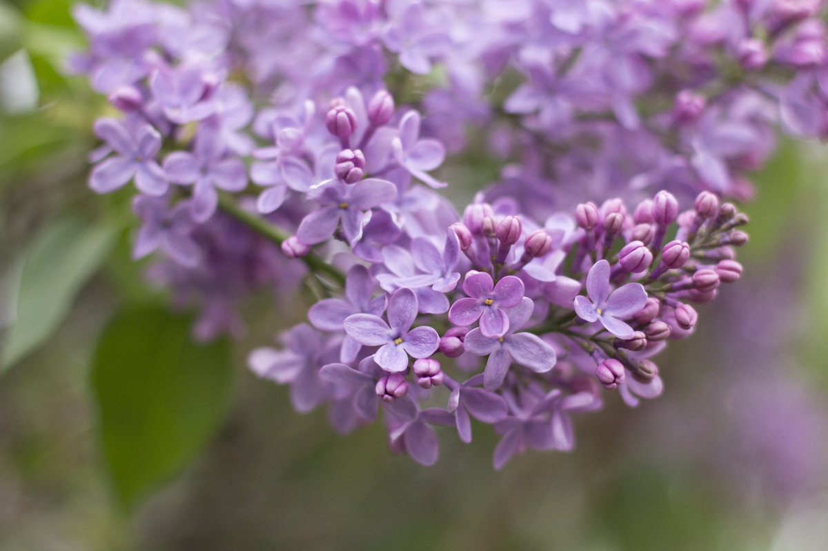 Rochester Lilac Festival 2020.Rochester Lilac Festival On Twitter Highland Park And Our