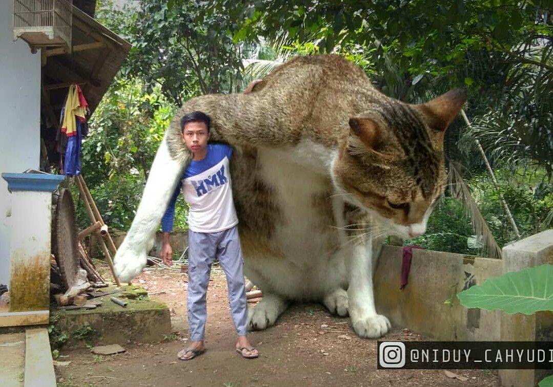 Download 76+  Gambar Kucing Raksasa Imut HD