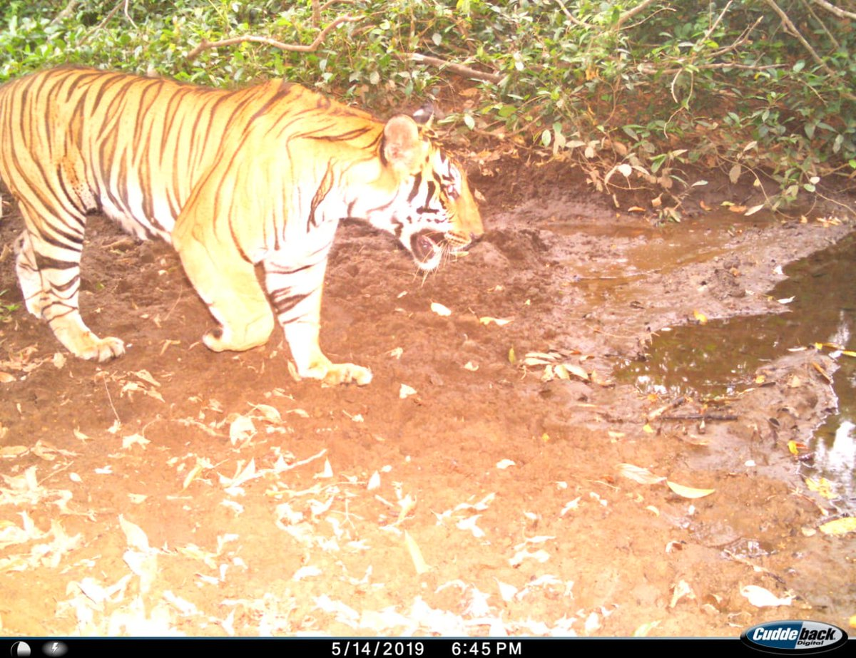 Forest Department camera traps the presence of Tiger at Bhagwan Mahaveer Wildlife Sanctuary, Molem. Department officials claim that presence of Tiger indicates that the wildlife protection level here is high.