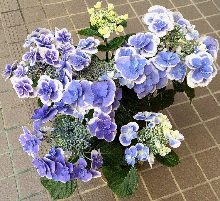 今年の母の日は紫陽花を。ドリップブルーという名前。きれいな色🎶