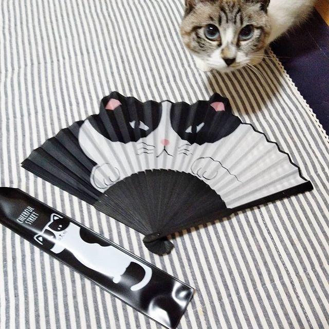 test ツイッターメディア - 扇子のセンス 最高〜 * #扇子 #セリア #ありがとう #プレゼント #ねこ #cat #白黒はちわれ  #ピーちゃん #ビビ #instacat  #instagood https://t.co/qShW7Yu91x https://t.co/LkvztErT3E