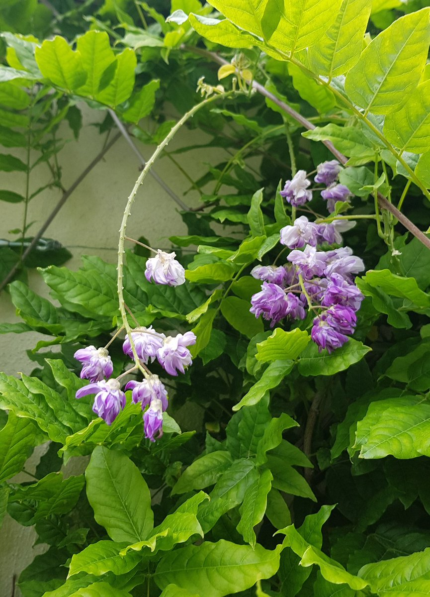 Second full season and we have flowers on our wisteria. Enjoying our garden this spring almost as much as the boys.