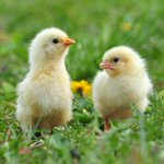 Image for the Tweet beginning: Keep chickens or ducks in