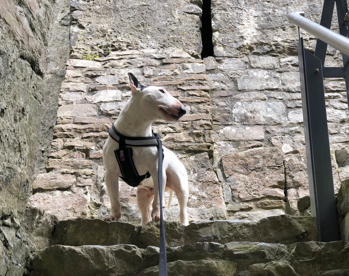 Exploring one of the many castles in Wales! This one is the dog friendly Oystermouth castle! . . . . #wales #swansea #oystermouth #oystermouthcastle #walescastle .   #dogsoftwitter #dogsofinstagram #bullterrier #bullies #bullterriers #puppers #dogs #dog #dogtravel #dogfriendly<br>http://pic.twitter.com/QWCFKQgmWr