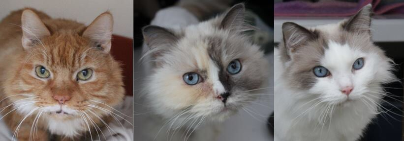 Meet Valois, Angel and Beau this #Caturday. This gorgeous trio are utterly devoted to each other and adore humans as well! Who wouldn't want to #AdoptDontShop these beautiful cats? <br>http://pic.twitter.com/AmWGcp2pdi