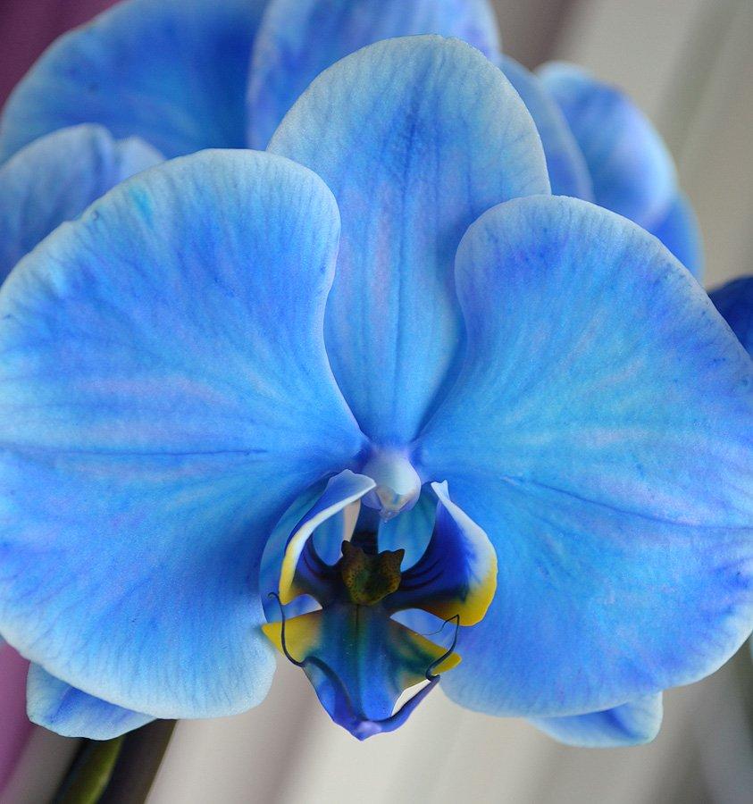 подходит концу, фото орхидеи фаленопсис голубая сделать фото документы