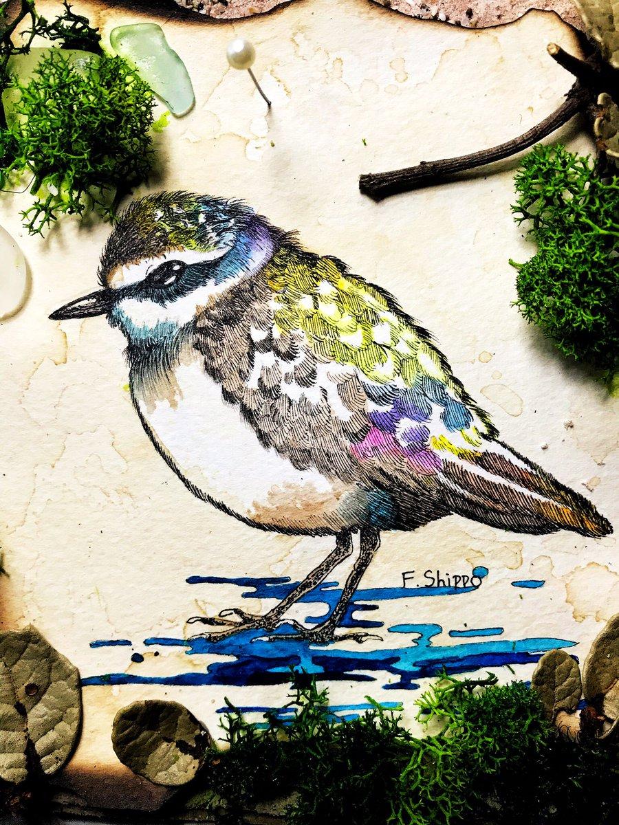 シロチドリを描いています。 チドリはかわいいぞ。 #ペン画 #水彩 #鳥