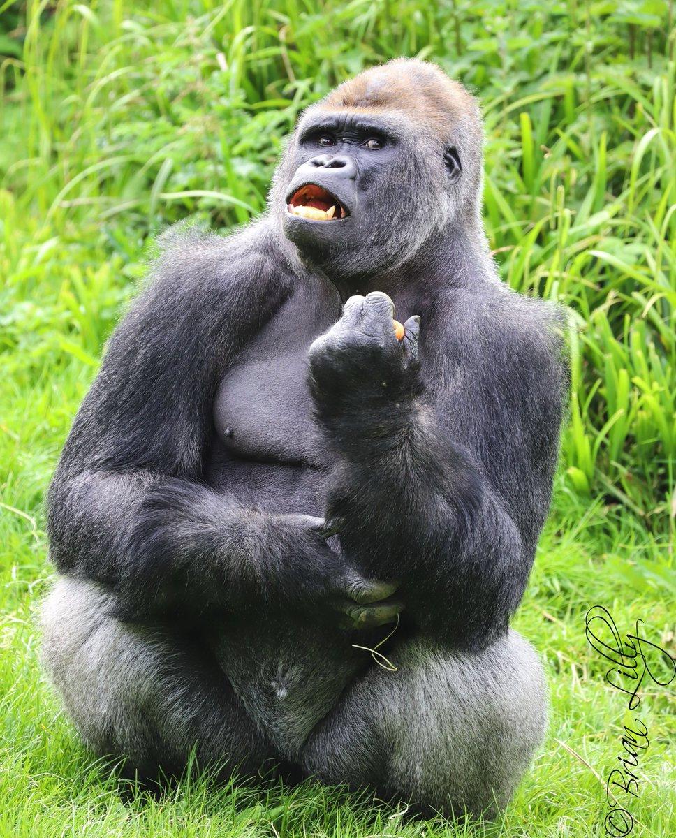 bikini-gorilla-picture