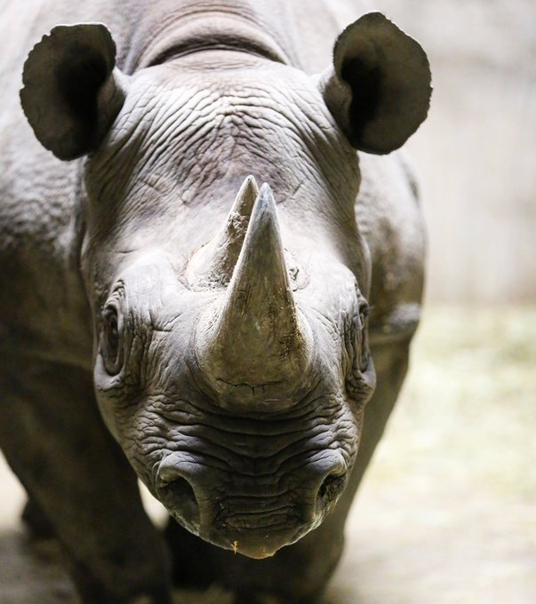 Critically endangered Black Rhino gives birth to incredibly rare calf
