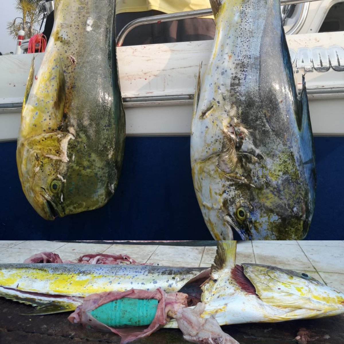 Me comparten estas fotos desde Tampico. Cada vez más especies son víctimas del plástico, lamentable.