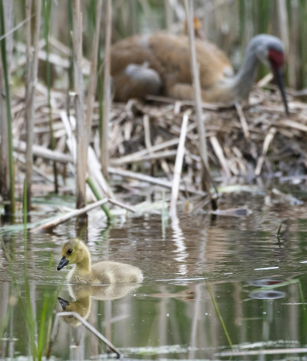 Sandhill Crane Family With Adopted Gosling Jocelyn >> Jocelyn Anderson Photography On Twitter I Stopped By Friday