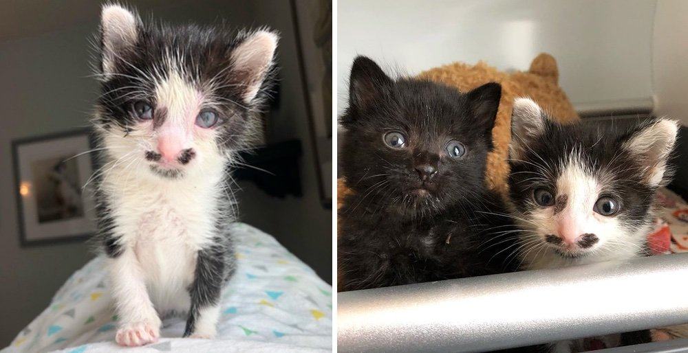 Man heard kittens cries and found them near a dumpster, meowing for help. See full story and updates: lovemeow.com/kittens-saved-…