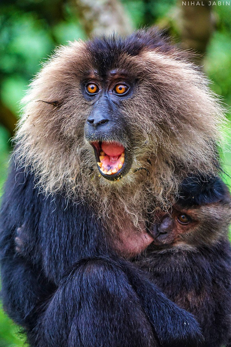Lion-tailed macaque female with her mouth open, as if in shock, and her small infant nursing. Photo credit: Nihal Jabin