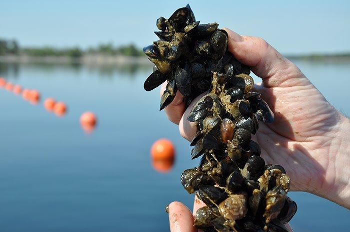 Musselodling kan visst vara en effektiv miljöåtgärd i Östersjön. Ny teknik som ger betydligt större skördar är ett viktigt skäl till de nya rekommendationerna. http://www.mynewsdesk.com/se/sveriges_lantbruksuniversitet__slu/pressreleases/musselodling-kan-visst-vara-en-effektiv-miljoeaatgaerd-i-oestersjoen-2871149…