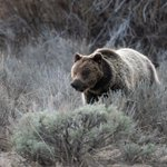 Image for the Tweet beginning: Biologists w/ the Interagency Grizzly