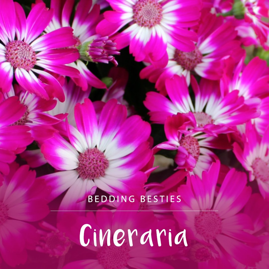 Cineraria's are our bedding bestie of the month! For rich colour in the shady winter garden, on balconies, patios and even indoors in a spot with indirect sunlight. Click here for more gardening tips: http://ow.ly/fHHg50tV5RC    #lifeisagarden #fortheloveofplants