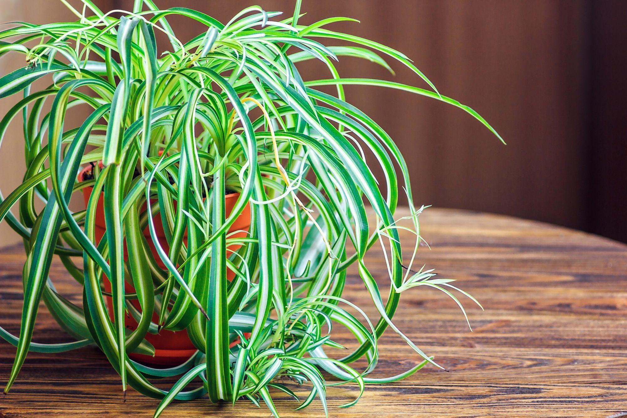 500 рублей, цветы хлорофитум где купить