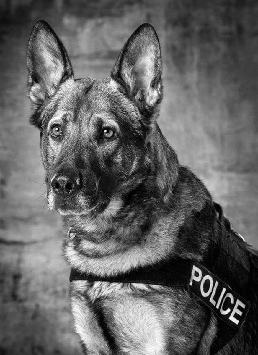 """I'm not crying, you're crying... Tonight is Officer Johnson & #K9Oakley's last shift with @DuluthMNPolice.  I've had the privilege of working the street with this team for the last 2 years.  Happy retirement """"Oaks"""" and best of luck """"MJ"""" on the new chapter. https://www.facebook.com/160799317446066/posts/1092409057618416/…pic.twitter.com/7RA6DcAcRs"""