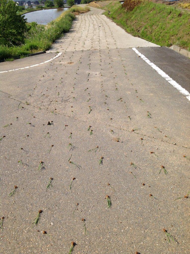 あーぁ…機械止め忘れて道路に田植え。 道路に延々続いていました。こんな風にやらかしてるの初めて見た。