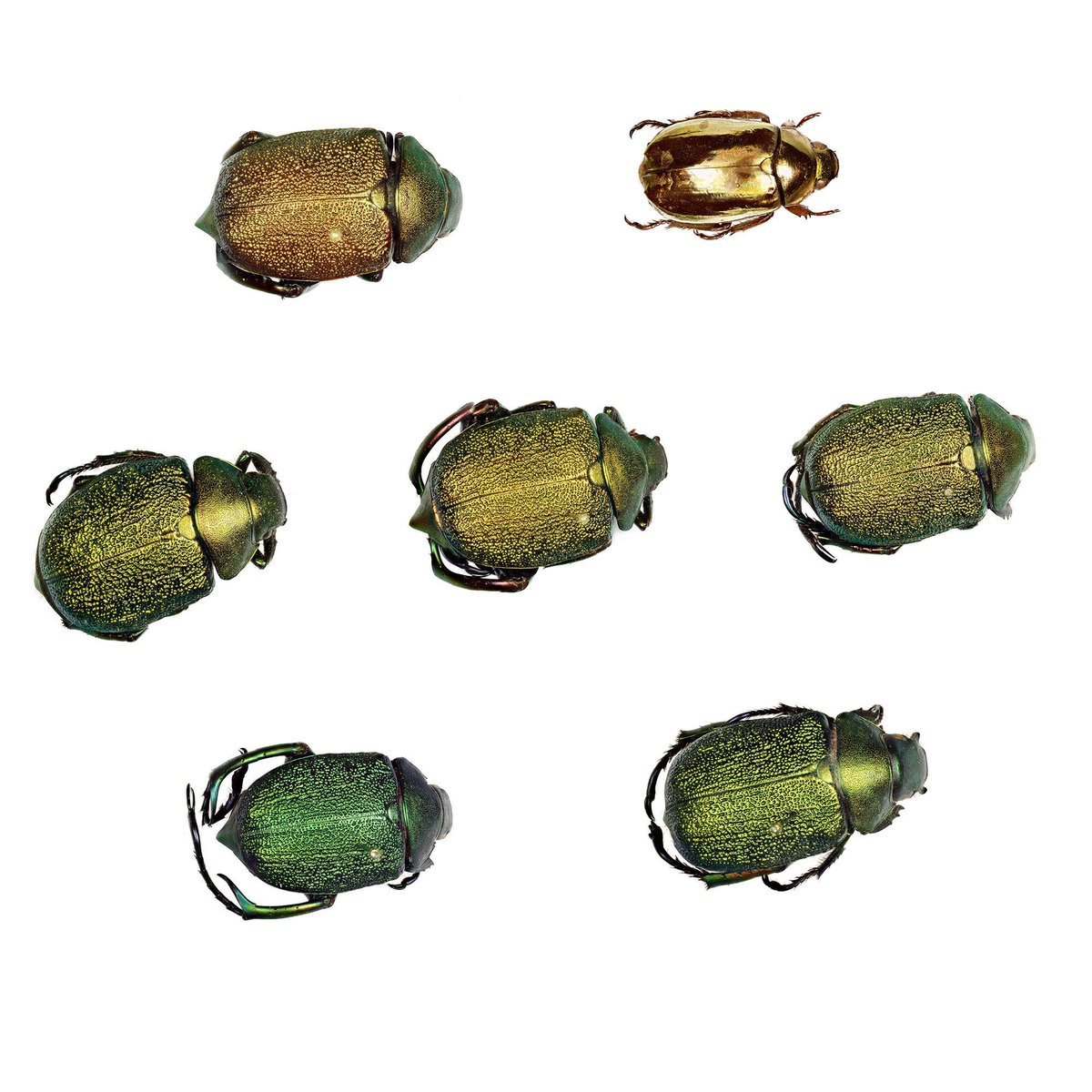 A little sparkle for your morning, courtesy of six leaf chafers of varying shades and one golden scarab. Their shiny green-gold forewings conceal a pair of much larger thin wings that make flight possible. Get a magnified look at their shiny beetle bodies: bit.ly/2ZDQTsK