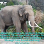 Image for the Tweet beginning: Happy #EleFunFactFriday!Male elephants continuously produce