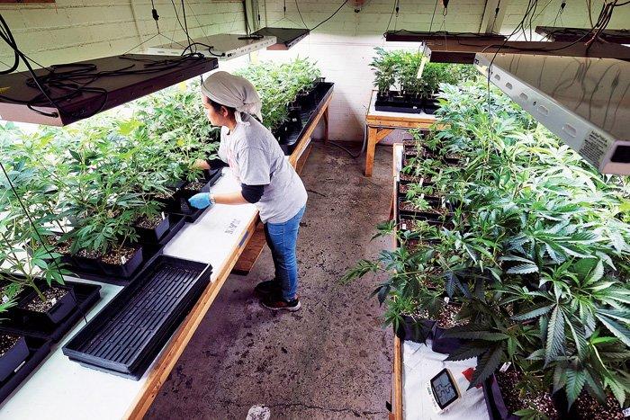 加拿大卫生部称助加快审批 申大麻牌须先建种植场
