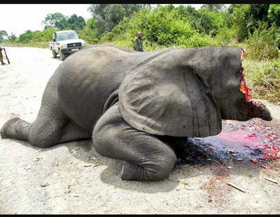 目を背けちゃダメ。日本の誰かが象牙の印鑑にこだわるから、今日も世界のどこかでアフリカゾウが密漁されている。まずは子ゾウを銃撃し、守ろうとする大人のゾウも銃撃。動きを封じた後、「生きたまま」顔面を削ぎ落とす。詳細は『牙 アフリカゾウの「密猟組織」を追って』をぜひ。 #象牙 #象
