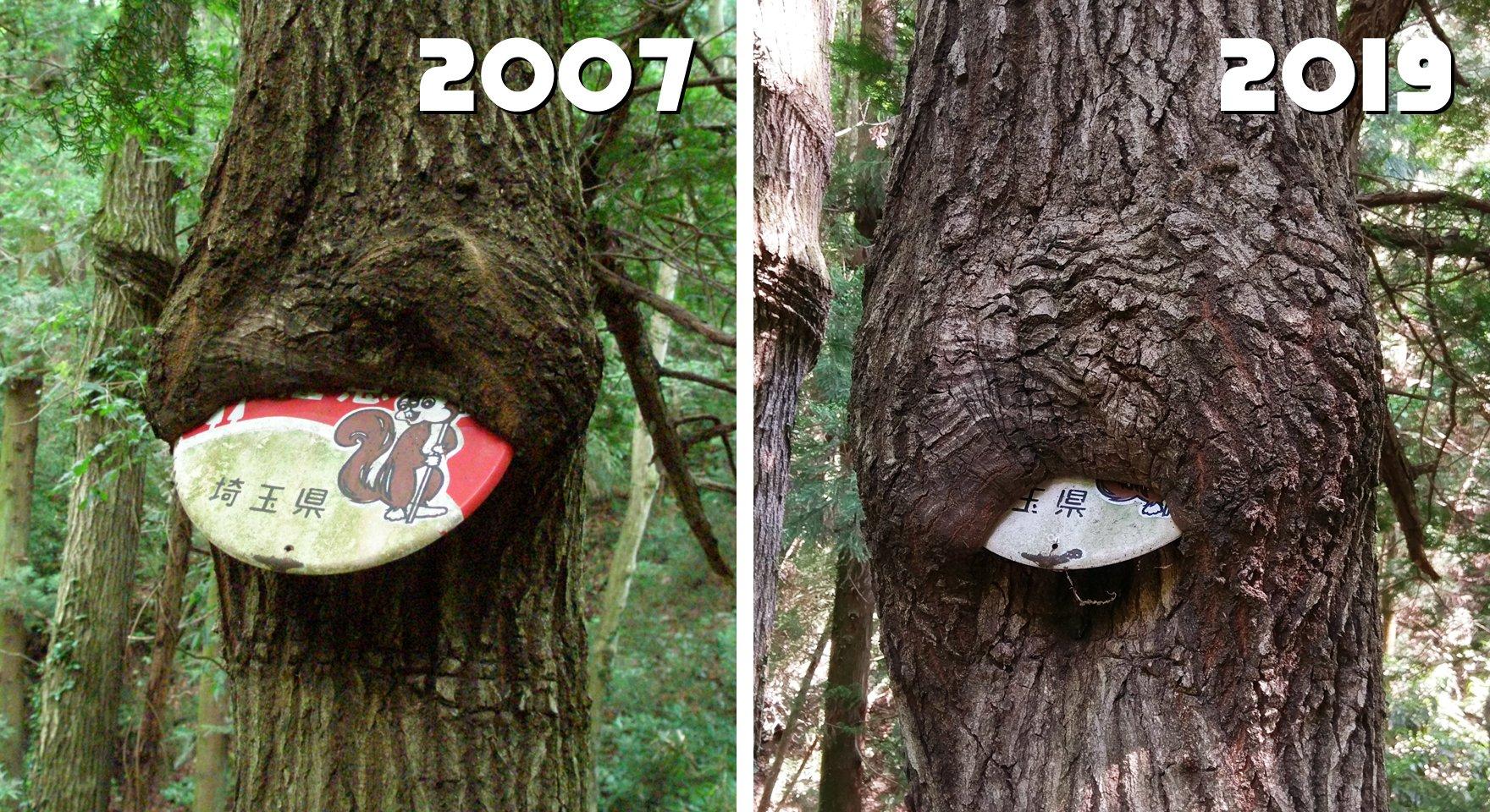 寄居町の林道馬騎ノ内線の、木に喰われた #まといリス 。12年ぶりに行ったらまだいたけど、ほぼ飲み込まれる寸前だった!