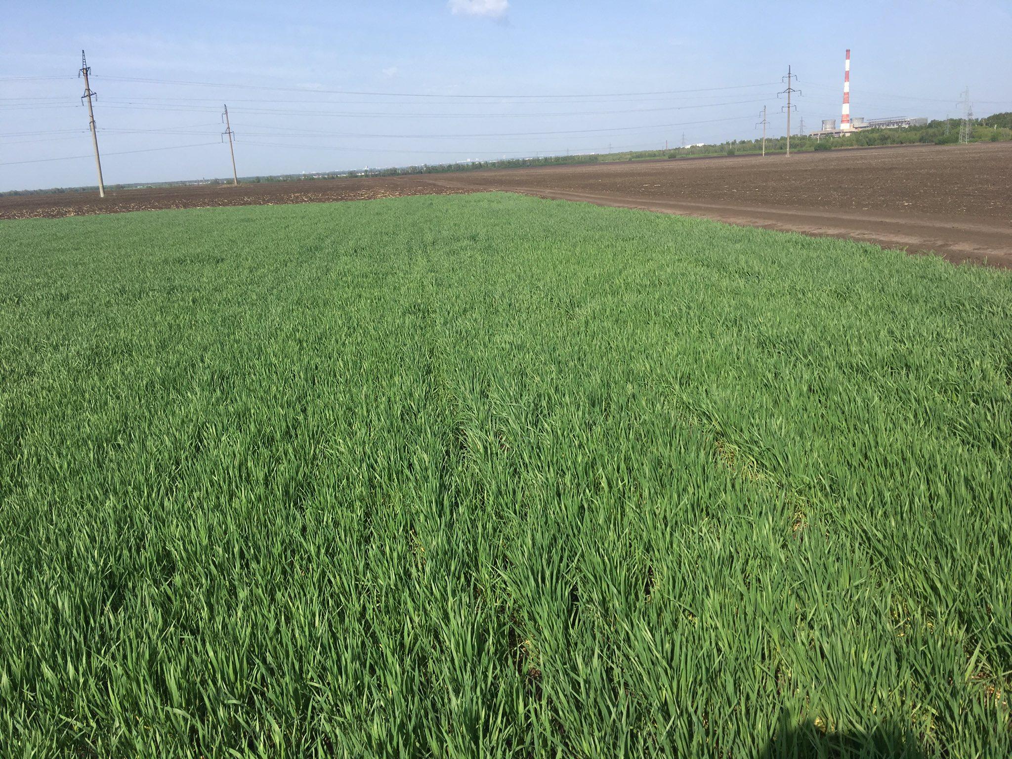 крупного озимая пшеница фото весной всходы пожелтели получат