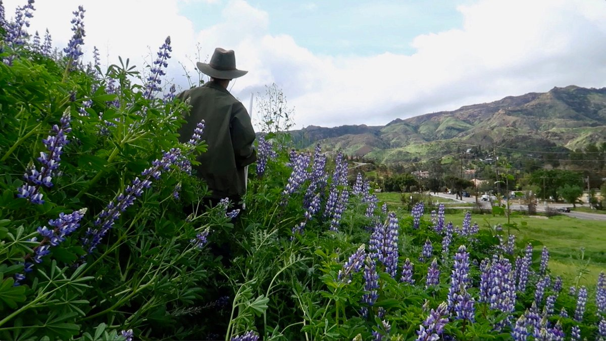 @SantaMonicaMtns An extra photo from filming at this vegetation monitoring plot full of lupins (Lupinus succulentus). I am still so grateful that I got to shadow these scientists for a day to see how theyre monitoring the effects of wildfires on the area.