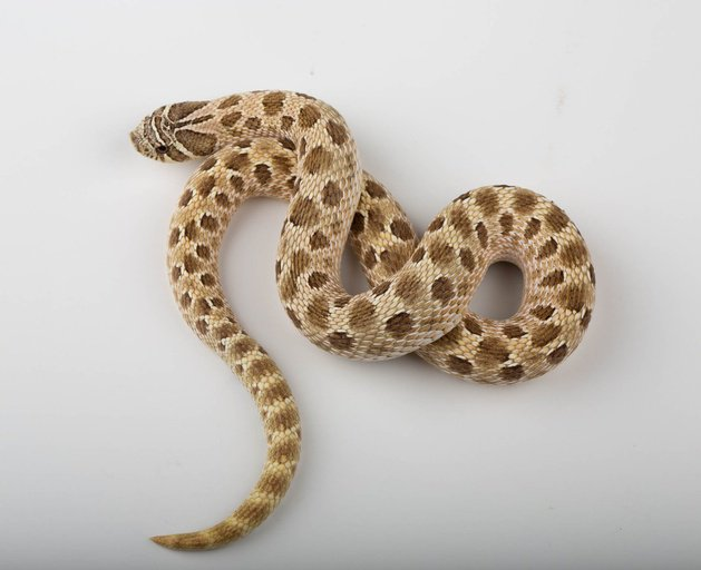 Proven Breeder Green Hypo Male Western Hognose by Ectotherm Empire