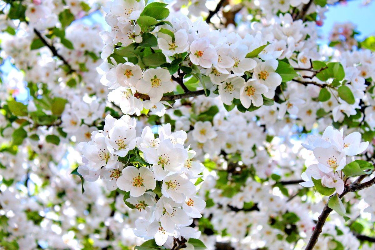 Открытки с яблоневым садом, анимации