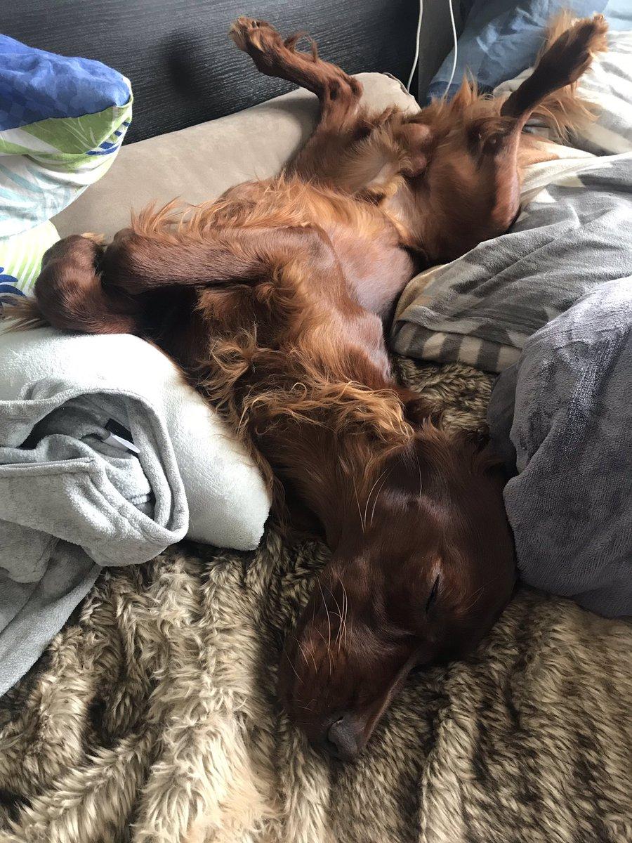 Gute Nacht! #setterzeus #trioinfernale #setter #hundemüde #gutenacht #irishsetter  #hundeliebe #dogfotography #hundefotografie #hunde #hundewelt #dog #setterirlandes #allianzviayo #schlafen #100happydays #day5pic.twitter.com/qHYlgfzq5z
