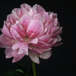 "Word of the day: ""peony"" -- one of the profusely petalled species in the genus Paeonia. The name of these long-lived, brief-flowering plants is from ""Paeon"", physician to the Gods in Greek myth; their associations inc. healing & compassion, as well as glorious, gratuitous beauty."
