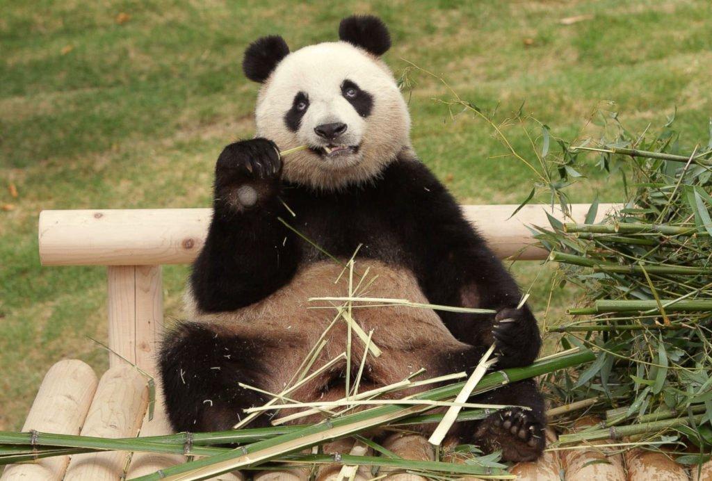 Картинки прикольных панды