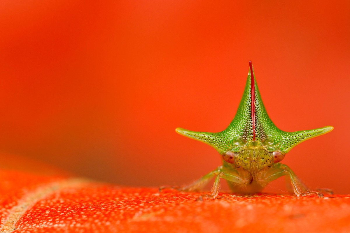 ATTN: Fierce mom uses fabulous thorn-shaped headdress for shielding her young, intimidating would-be predators—and us, for that matter. The A. grossa treehopper, everyone: bit.ly/2vr8wy4 (📷: Lucas Bustamante via @bioGraphic)