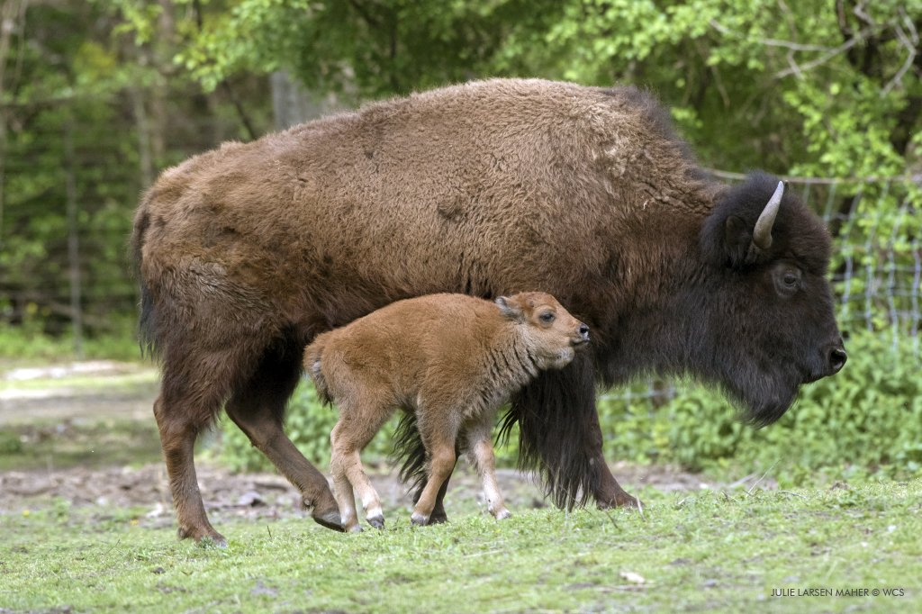 Bronx Zoo On Twitter Checking In With The Bison Right Now On