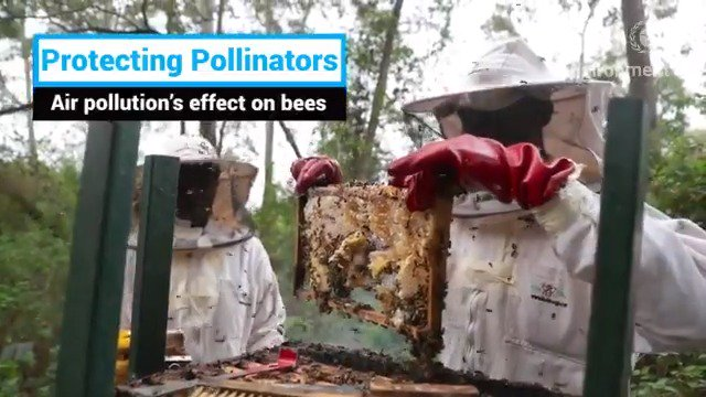 #BeatAirPollution for #WorldBeeDay Bees🐝🐝 rely on their sense of smell to identify different flowers, making them effective pollinators. But air pollution can mask scent molecules from plants, which means bees need to forage longer & become less effective pollinators.