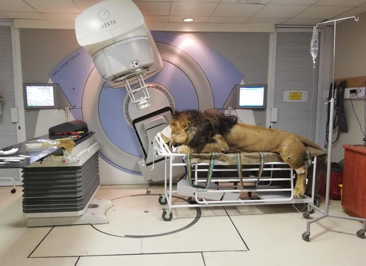 Iaea International Atomic Energy Agency On Twitter Radiation Can Be Used To Save Lives Not Just People S Lives But Animals Too Last Week A Lion Named Chaos Received His First Radiotherapy