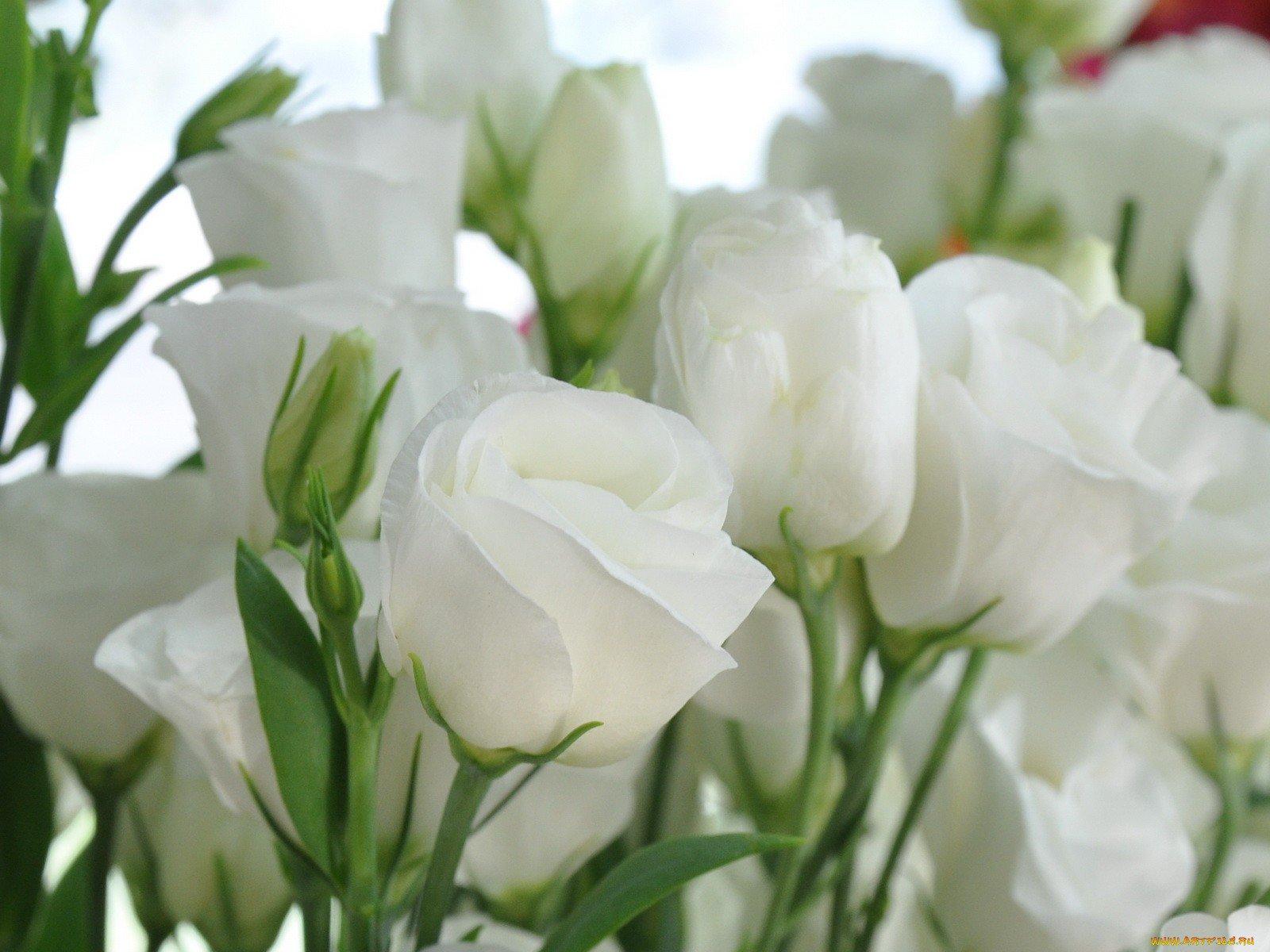 Мая картинки, открытка к 8 марта с белыми розами