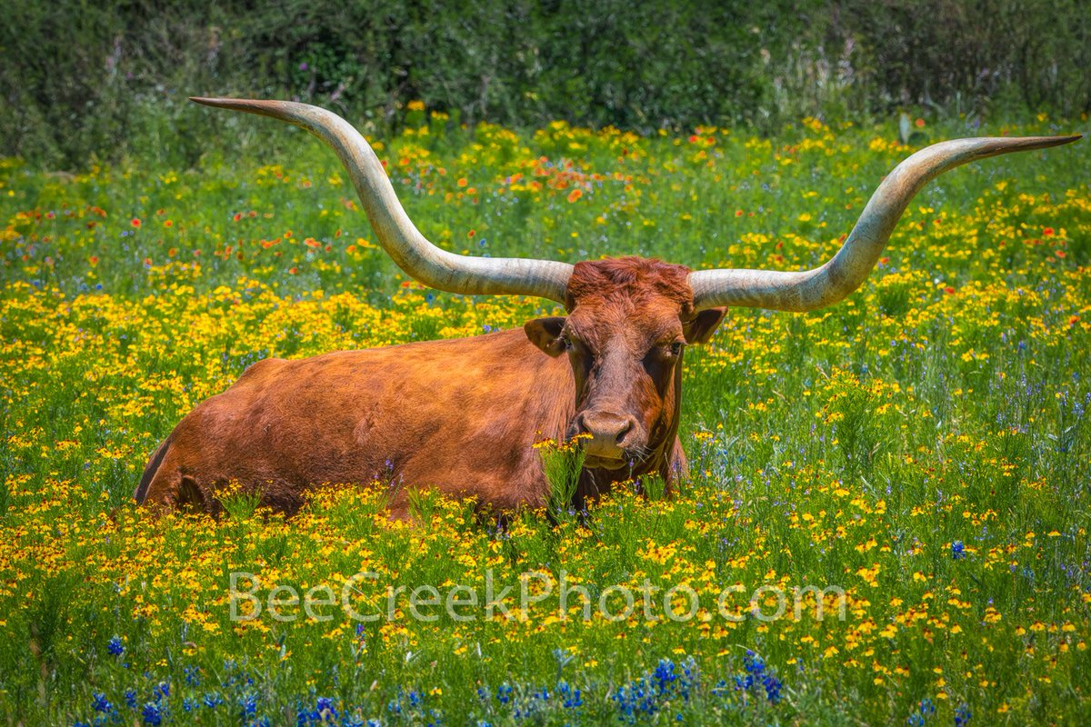 closeup-picture-of-a-longhorn-steer-and-son