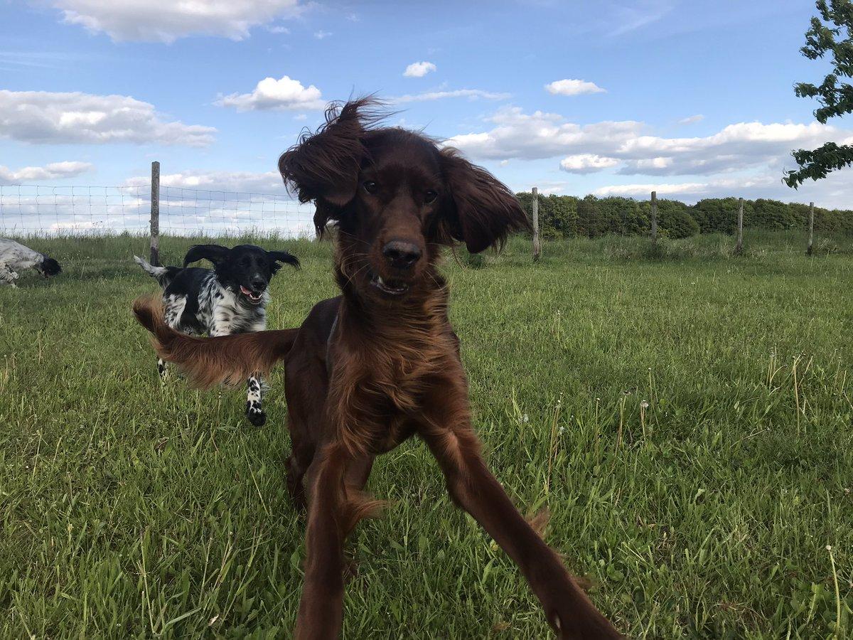 Ich hab Spaß, ich geb Gas...  #setterzeus #trioinfernale #setter #irishsetter  #hundeliebe #dogfotography #spaß #world_irish_setter #hundefotografie #hunde #hundewelt #dog #setterirlandes #allianzviayo #wirbelwind #100happydays #day7 #365 #365daychallengepic.twitter.com/fG5ShszXYp